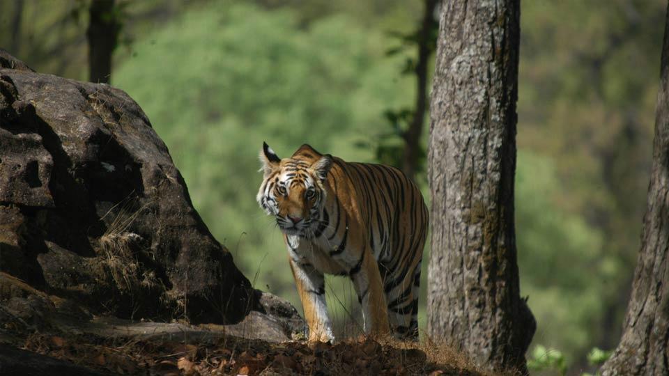 Ein Tiger im Bandhavgarh Nationalpark.