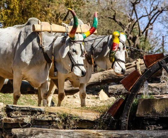 Ländliches Indien mit der Dörfliches Rajasthan Reise erkunden 560x460
