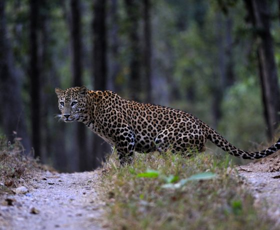 Luxus Indien Wildlife Reise 560x460