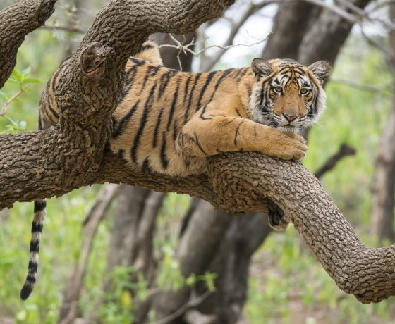 Tiger Safari im Ranthambore Nationalpark luxuriöse Wildlife Rajasthan Rundreise 560x460