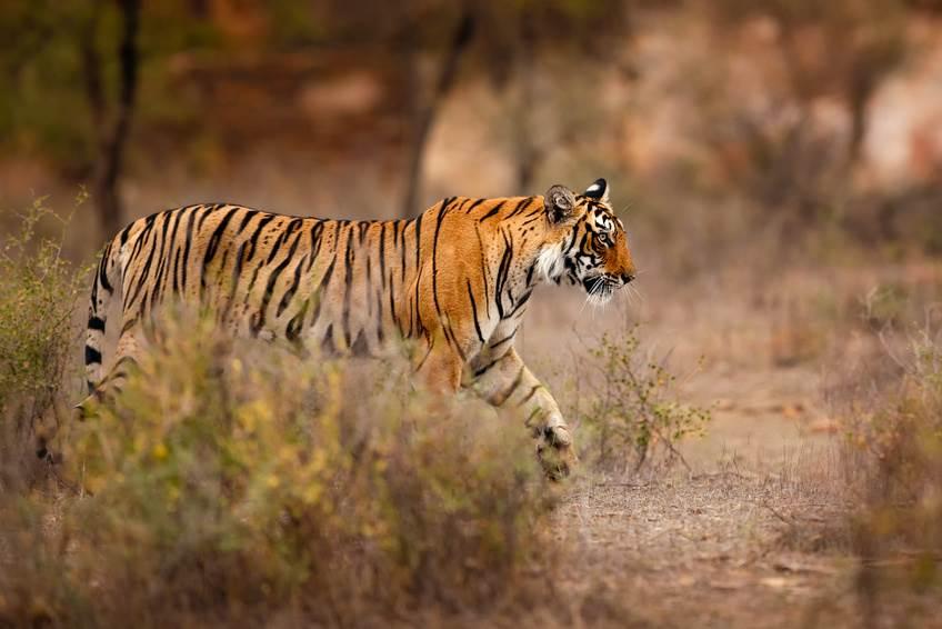 Ein Tiger Weibchen im Ranthambore Nationalpark