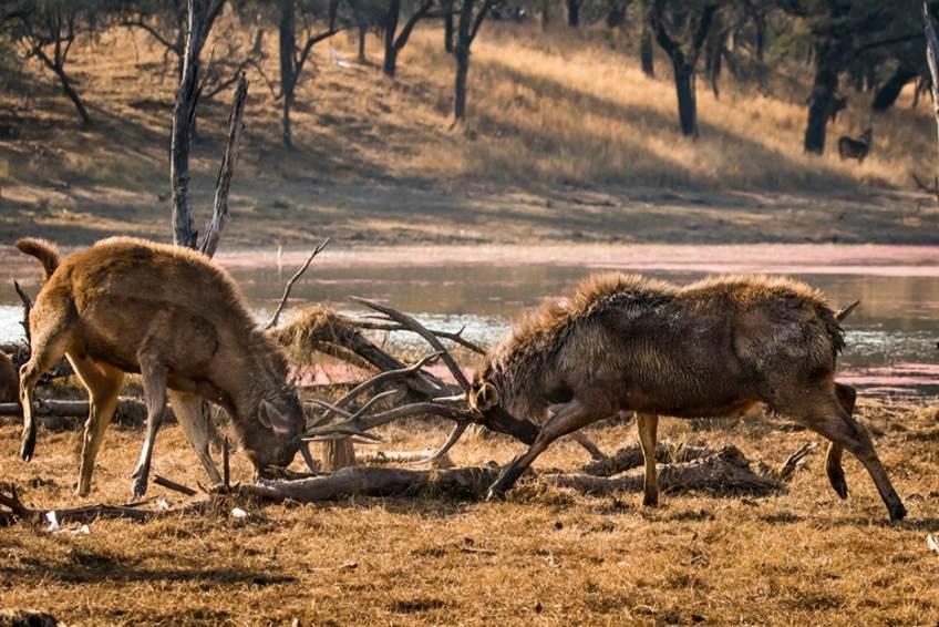 Zwei Hirschböcke im Ranthambore Nationalpark.