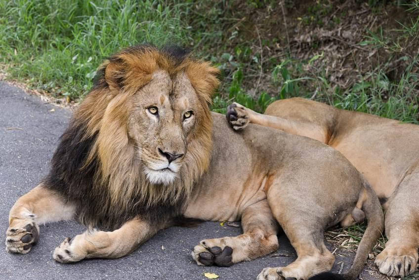 Löwe in Gir