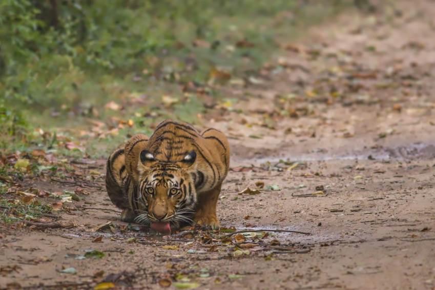 Tiger in dem Jim Corbett Nationalpark
