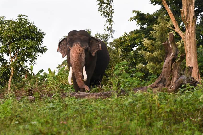 Wilder asiatischer Elefant im Nationalpark
